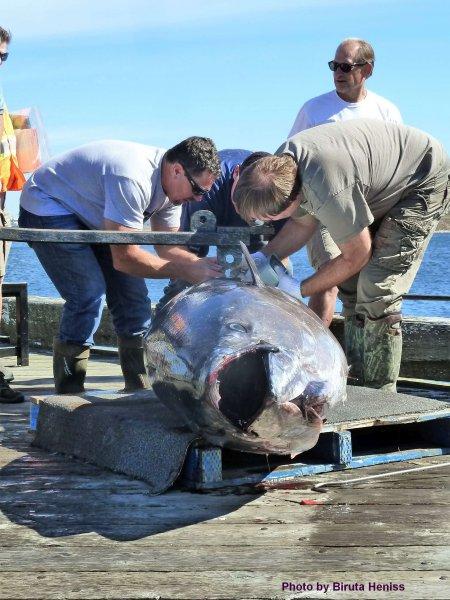 WWP tuna riggin scales_cred