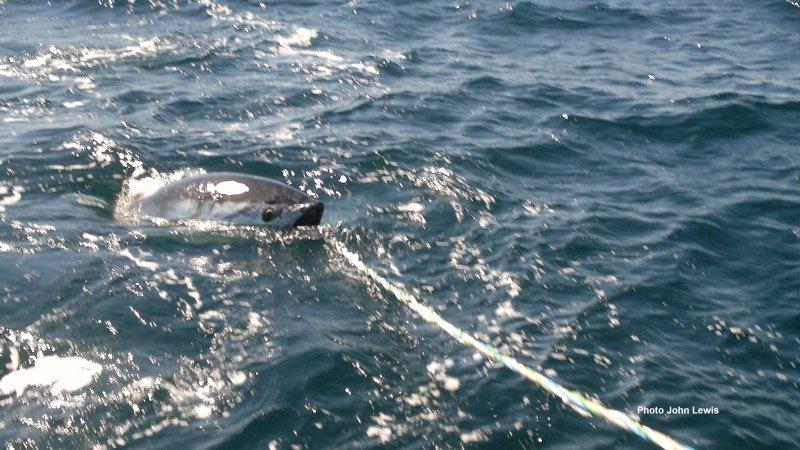 _gaffer swimming catch