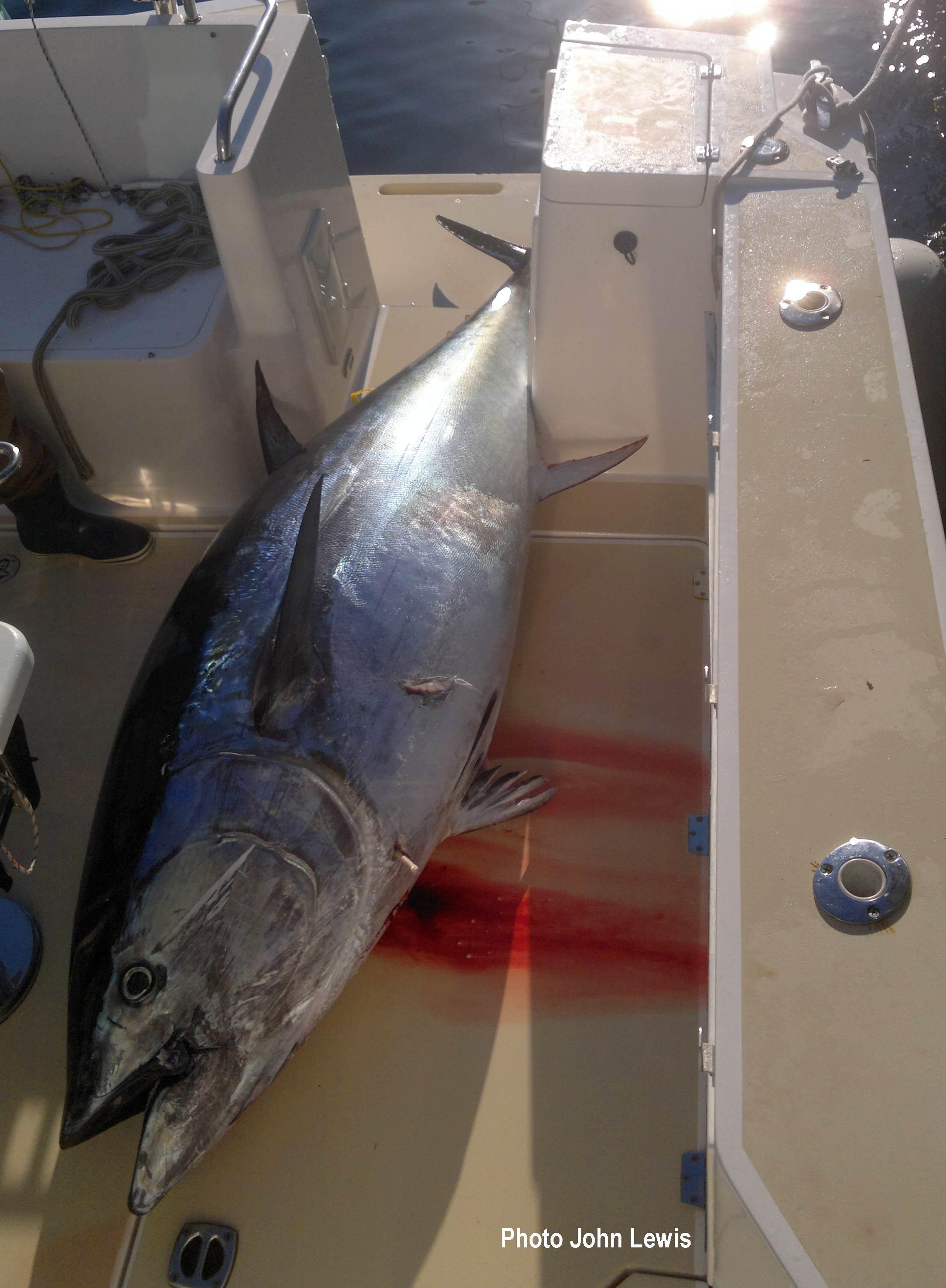 Gaffers tuna