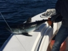 Contenders big shark